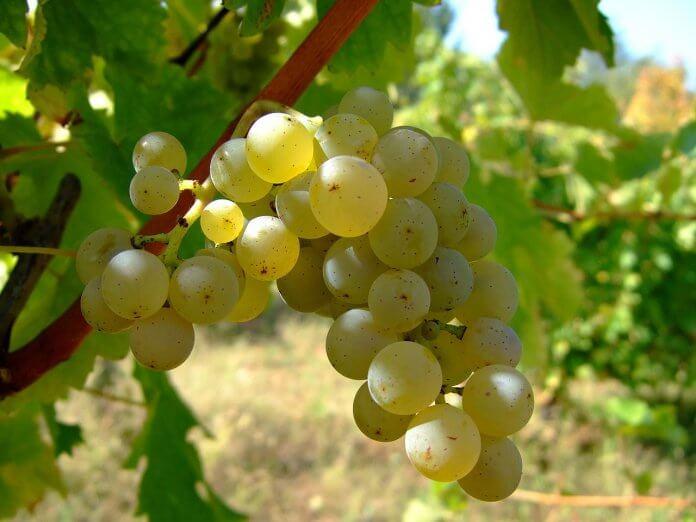 sauvignon blanc vine
